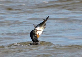 comorant-with-big-fish