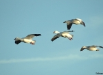 Four snow geese in glide