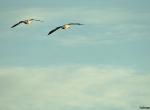 Pair of snow geese
