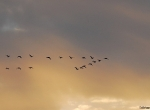 Distant flight of geese at sunset
