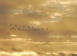Formation of geese in sunset sky