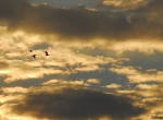 Geese flying amid dramatic evening clouds