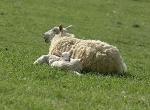dscf0006-sheep